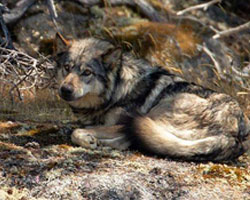 A photo of a wolf.