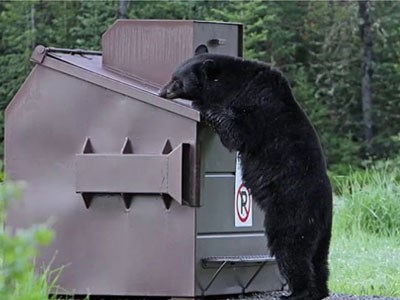 Photo of a bear looking into a dumpster